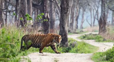 ranthambore-tigers